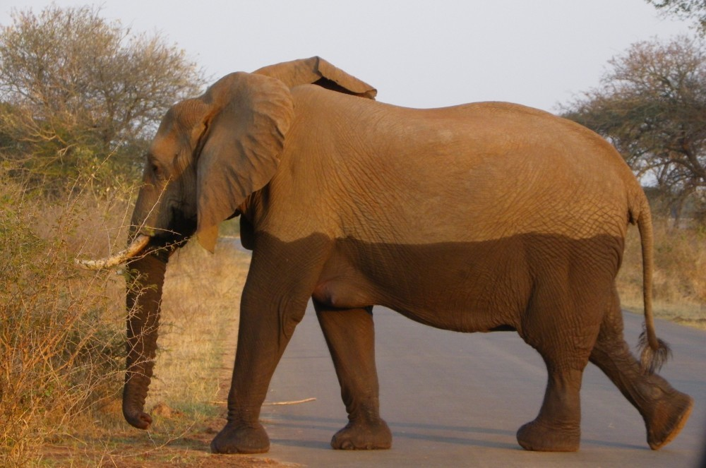 Kruger Park is the flagship Safari experience of South Africa and is home to the Big 5 wildlife legends including Elephant