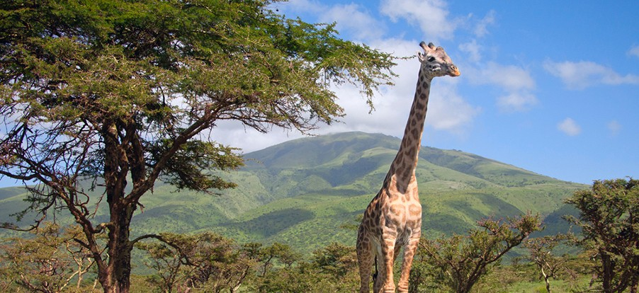cape-town-garden-route-tour-safari-giraffe-game-drive