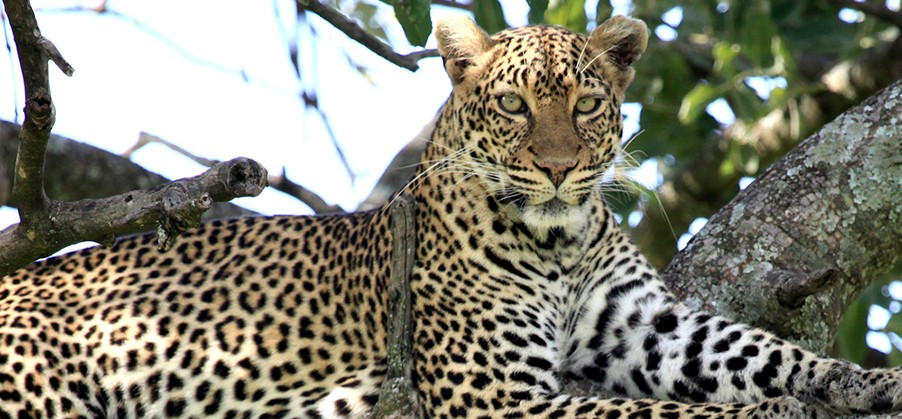 Kruger-park-big-5-leopard-safari-tour-south-africa