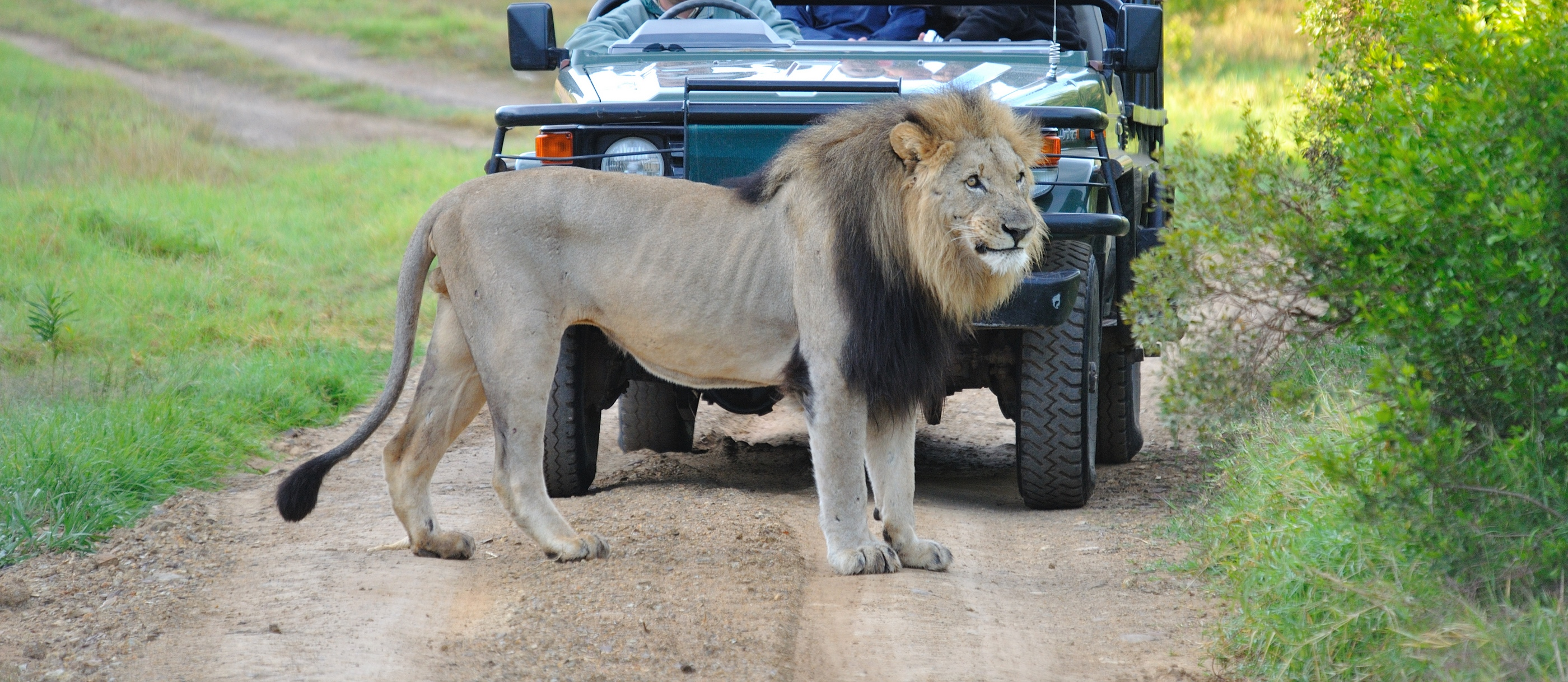 34-South-Tours-Safari-Tour-Lion1