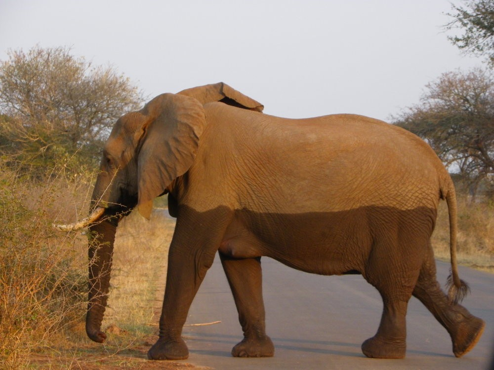 The Kruger National park is home to the free-roaming Big 5 which includes elephant. Do Kruger on its own or in combination with Cape Town Tours and Garden Route Tours