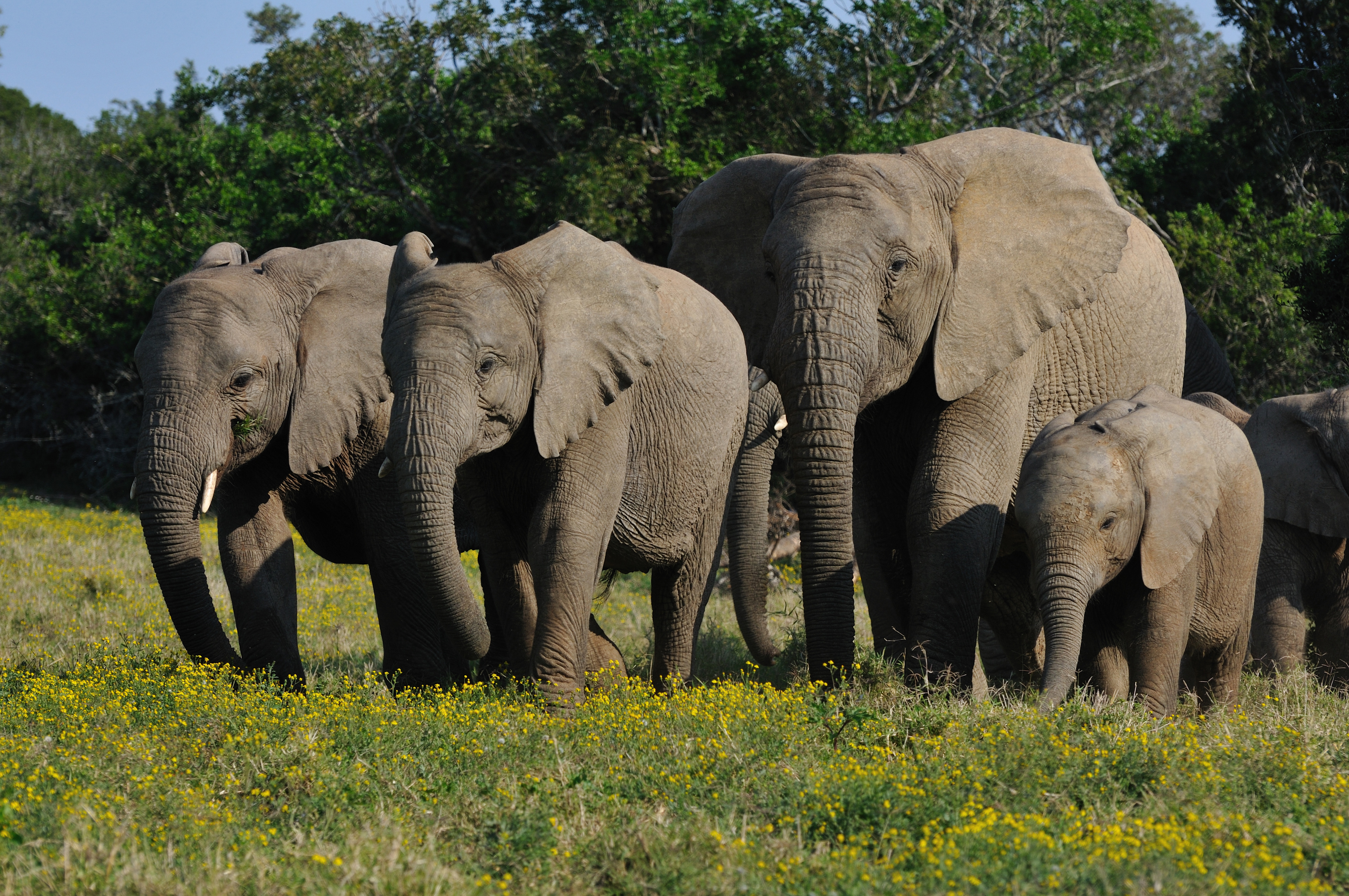 Eastern-Cape-Elephant-2