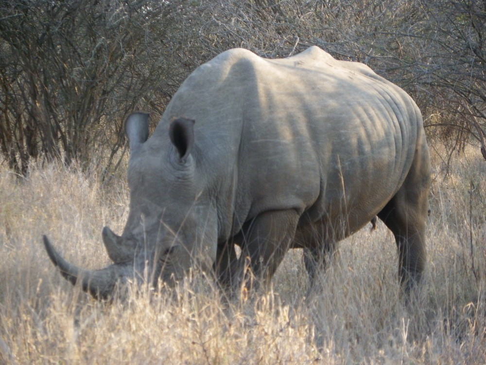 Kruger Park offers the opportunity to discover the endangered Rhino