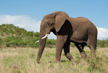 Elephant is one of the Big 5 Wildlife legends at Pilanesberg