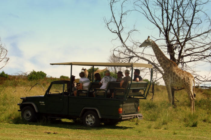 The Garden Route Tours offer the opportunity for a game drive where one can spot Giraffe sighting on a game drive at Plettenberg Bay Game Reserve on our Garden Route and Wildlife Tour