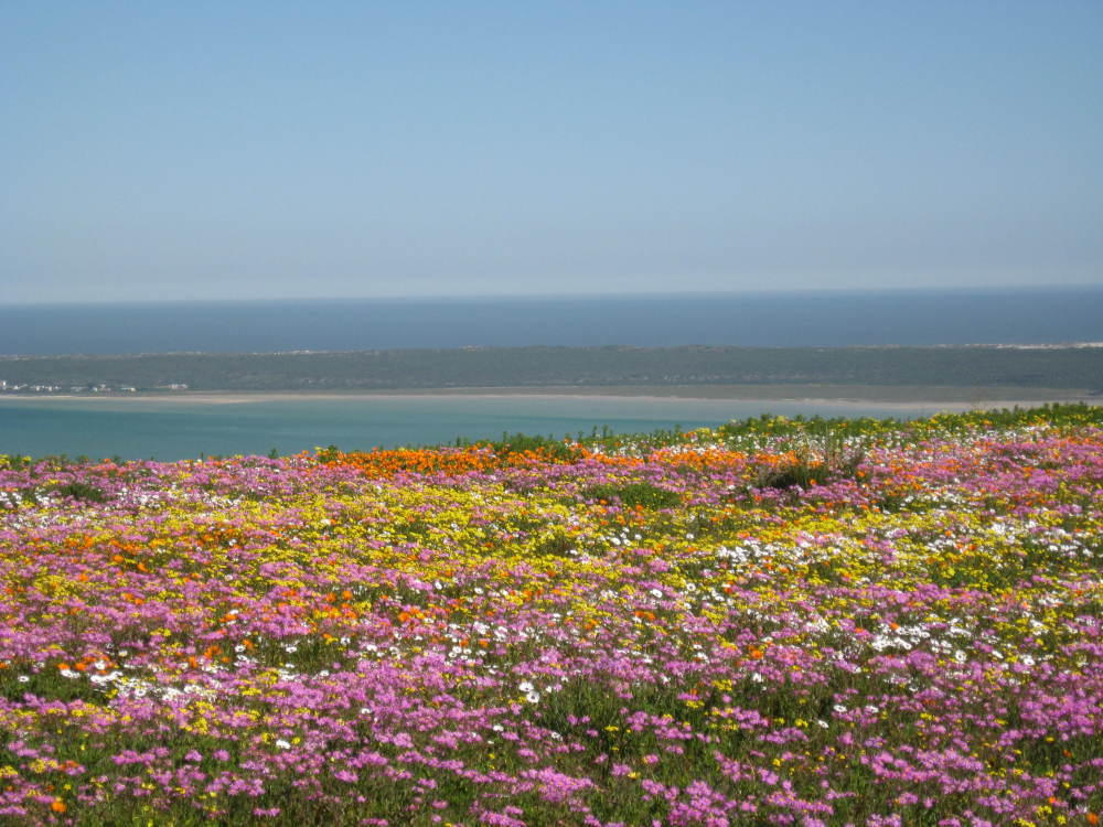 Cape Town's West Coast becomes a floweer wonderland in August and September each year when the West Coast Flower Tour is offered